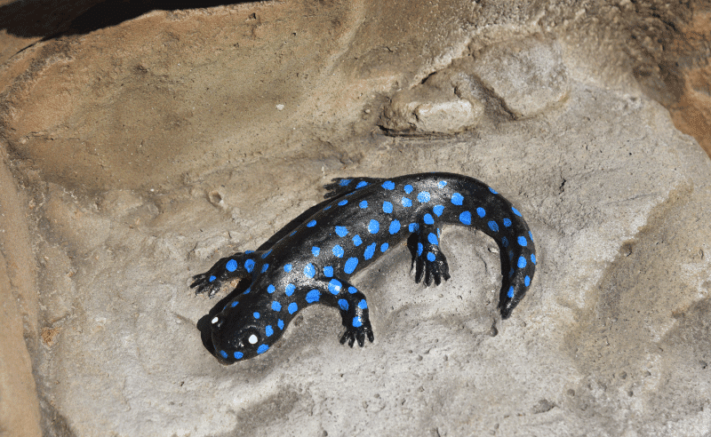 Brentwood - Salamander on Rock